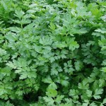 """Petersilie der Sorte """"Grüne Perle"""" wächst in einem Beet"""