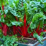 Wintergemüse anbauen: Mangold