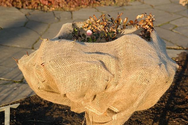 Ein Rosenbusch im Garten ist in ein Gazetuch gehüllt, um vor dem Winter geschützt zu sein.