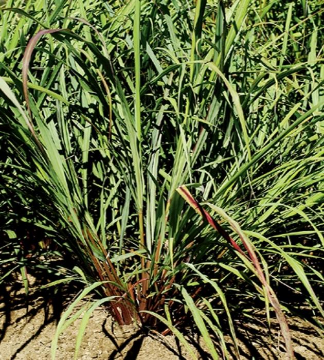 Zitronengras East Indian Gewürz Gras