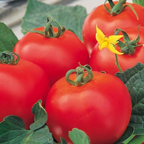 Tomaten BIO Diplom F1-Hybride