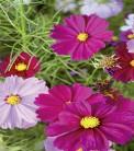 Schmuckkörbchen Cosmea Farbenfrohe Mischung