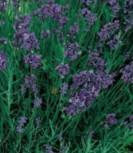 Lavendel Echter mehrjährig