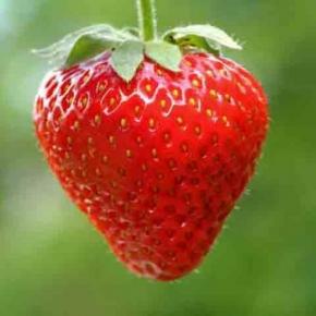Erdbeeren Ampelerdbeeren Temptation