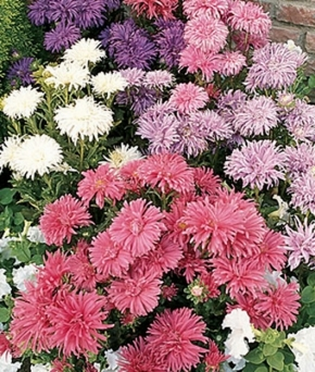 Aster/ Winteraster Chrysanthemum