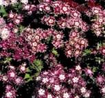 Flammenblume Phlox Sternenzauber einjährig 20 cm