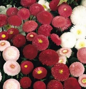 Gänseblümchen Bellis Tasso Mix Zweijährig