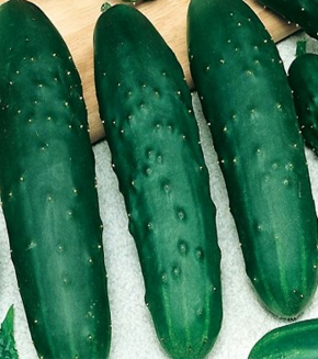 Gurken Salat Gurke Jazzer Länge 18-22 cm dunkelgrün