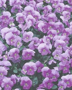 Hornveilchen Viola Lavender Ice zweijährig Höhe 15 cm