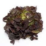 Batavia Salat Rouge Grenobloise Rot