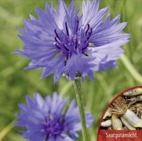 Kornblumen Centaurea Blauer Junge gefüllt 90 cm