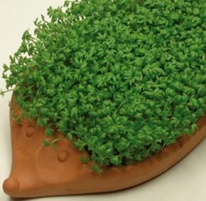Kresse BIO Gartenkresse Cresso 1kg frische Ware