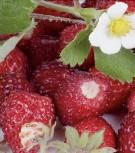 Erdbeeren Monatserdbeeren Rügen