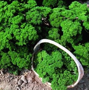 Petersilie Grüne Perle gefüllt, feingekraust