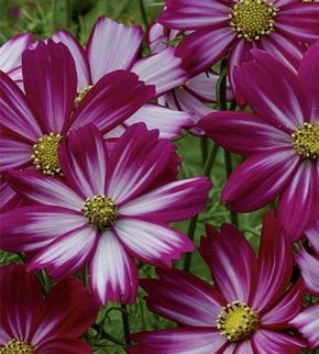 Schmuckkörbchen Cosmea Cosimo Purple Red-White