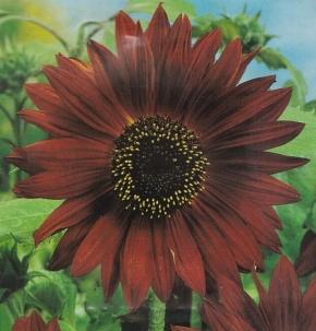 Sonnenblume Helianthus Abendsonne Höhe 200 cm