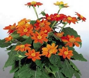 Sonnenblume Mexikanische Tithonie Fackel Höhe 1-1,5 m