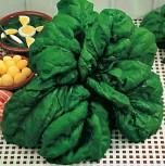 Spinat Yabi 50 g Züchtersaat