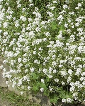 Steinkraut Schneeteppich weiß einjährig 7-10 cm