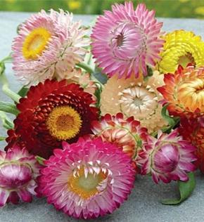Strohblumen Prachtmischung einjährig Höhe 80 cm