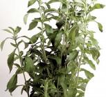 Süßkraut Süßblatt Stevia