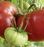 Tomaten Master Fleischtomate F1-Hybride
