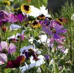 Sommerblumen BIO Bienen und Schmetterlingsweide
