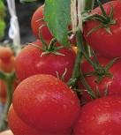 Tomaten BIO Geschmackstomaten Berner Rose