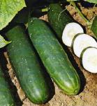 Bio Gurken Salat Gurke Corinto Länge 18-20 cm