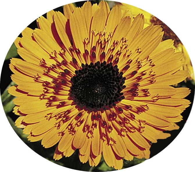 Ringelblumen Calendula Schwarzorange