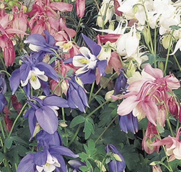 Akelei Aquilegia Großblumige Mischung mehrjährig 75 cm