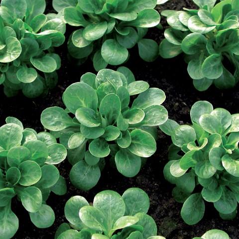 Feldsalat Medaillon glänzend dunkelgrün