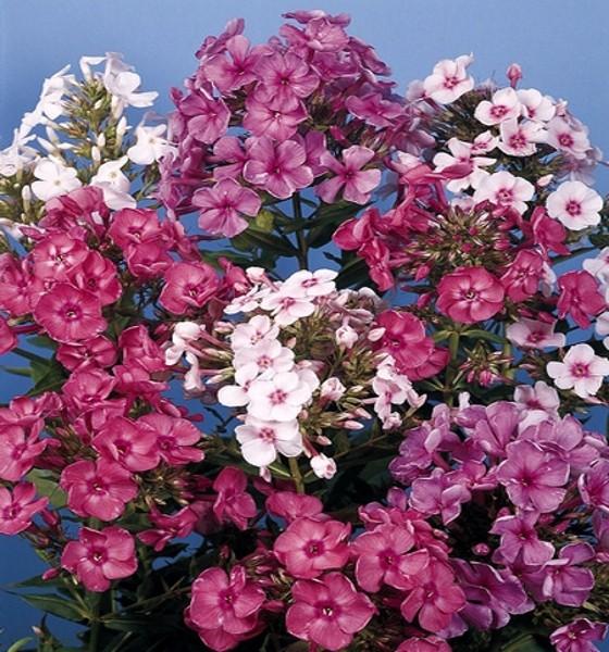 Flammenblume Phlox Staudenphlox Grandiflora