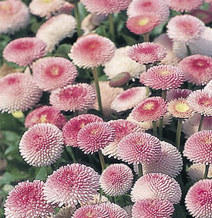 Gänseblümchen Bellis Robella zweijährig Höhe 15 cm