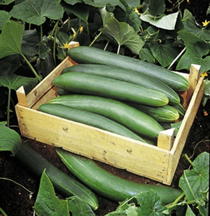 Gurken Salat Gurke Tanja bitterfrei bis 35 cm Länge