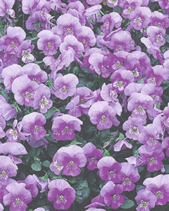 Stiefmütterchen Hornveilchen Lavender Ice zweijährig Höhe 15 cm