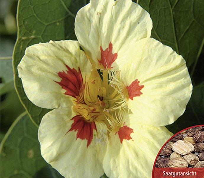 Kapuziner Kresse Peach Melba einjährig Höhe 30 cm