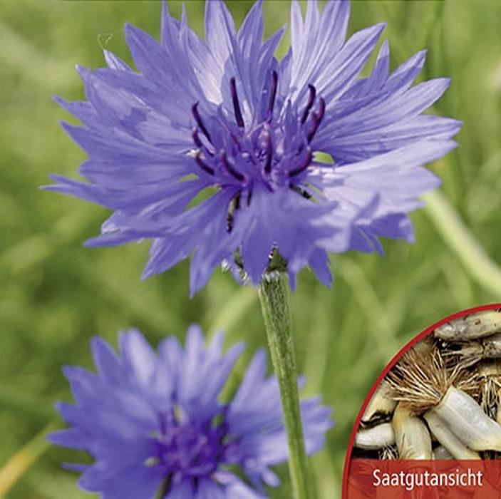 Kornblumen Centaurea Blauer Junge Höhe 80 cm