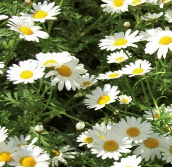 Margeriten Zwerg Margeriten weiß einjährig 20 cm