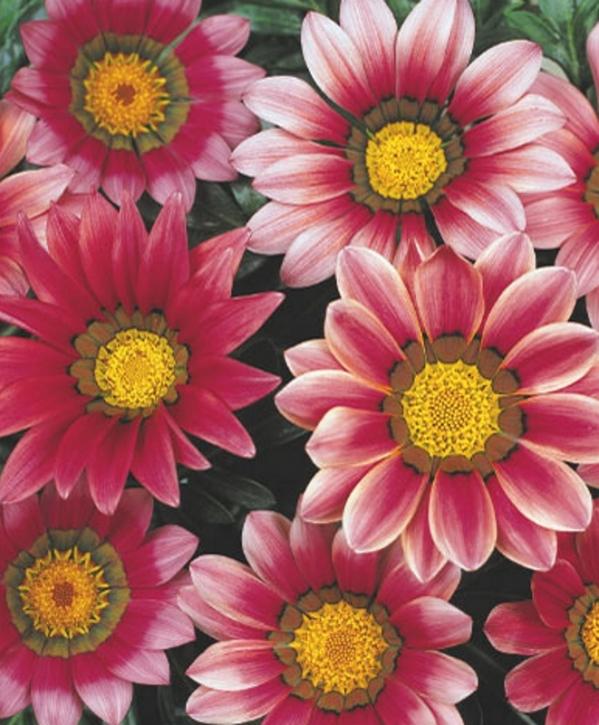 Mittagsgold Gazania Daybreak Pink Shade einjährig 25 cm