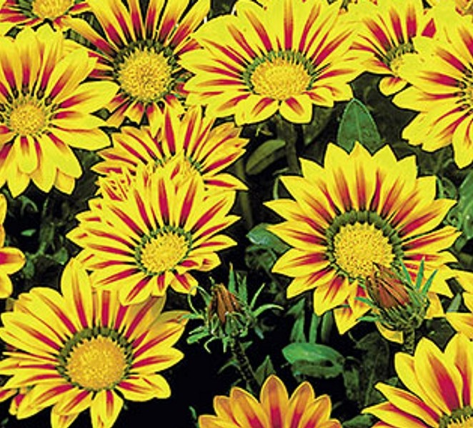 Mittagsgold Gazania Daybreak Red Stripe 25 cm