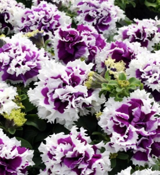Petunie Pirouette Purple einjährig 25 cm stehend