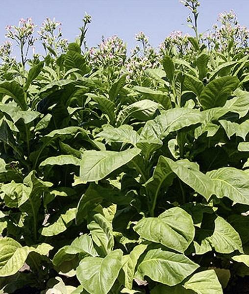 Rauchtabak Mischung Würz-Tabak Samen Höhe ca. 2m