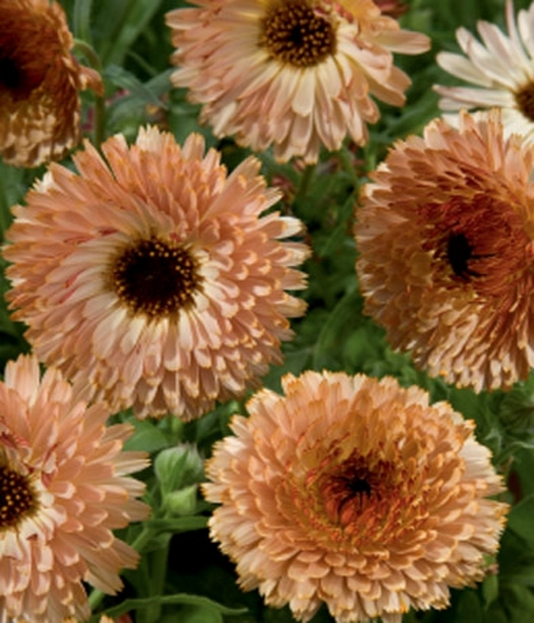 Ringelblumen Calendula Touch of Red Buff 50-60 cm