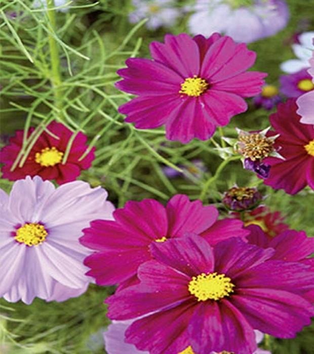 Schmuckkörbchen Cosmea farbenfrohe Mischung 120 cm