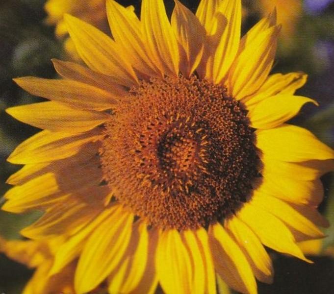 Sonnenblume Helianthus Giganteus Höhe 300 cm