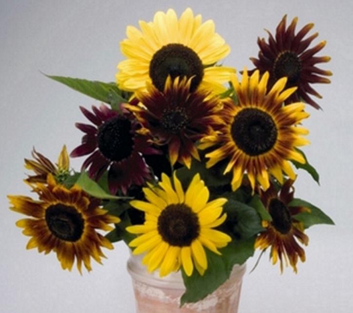 Sonnenblume Herbstschönheit Höhe 200 cm