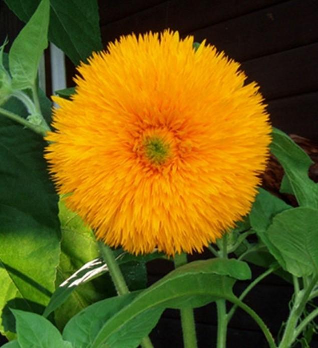 Sonnenblume Helianthus Hohe Sonnengold Höhe 150 cm