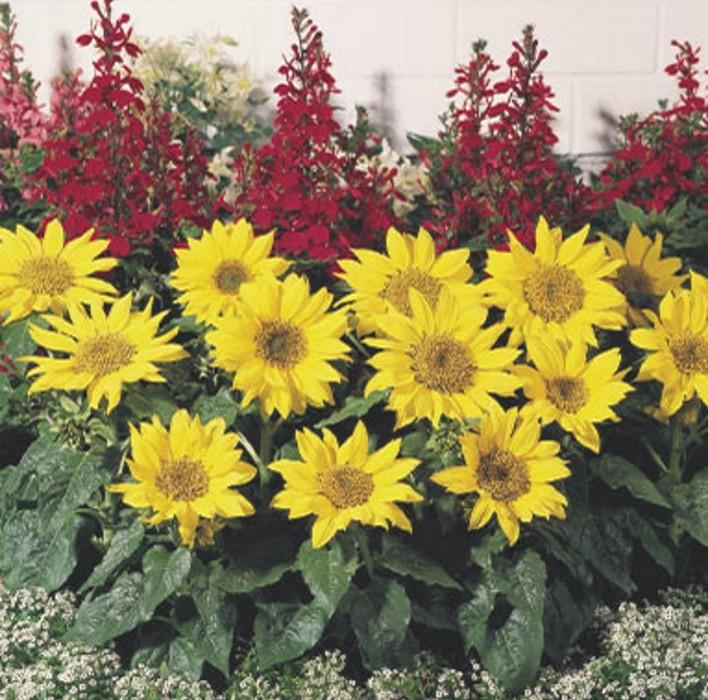 Sonnenblume Zwerg Sonnenblume Pacino Gold 30-40 cm
