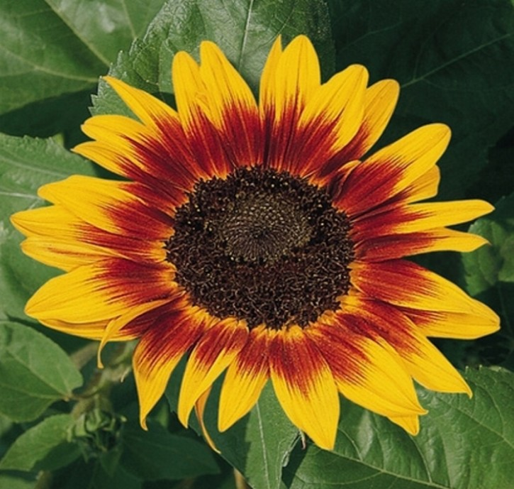 Sonnenblume Helianthus Ring of Fire Höhe 110 cm